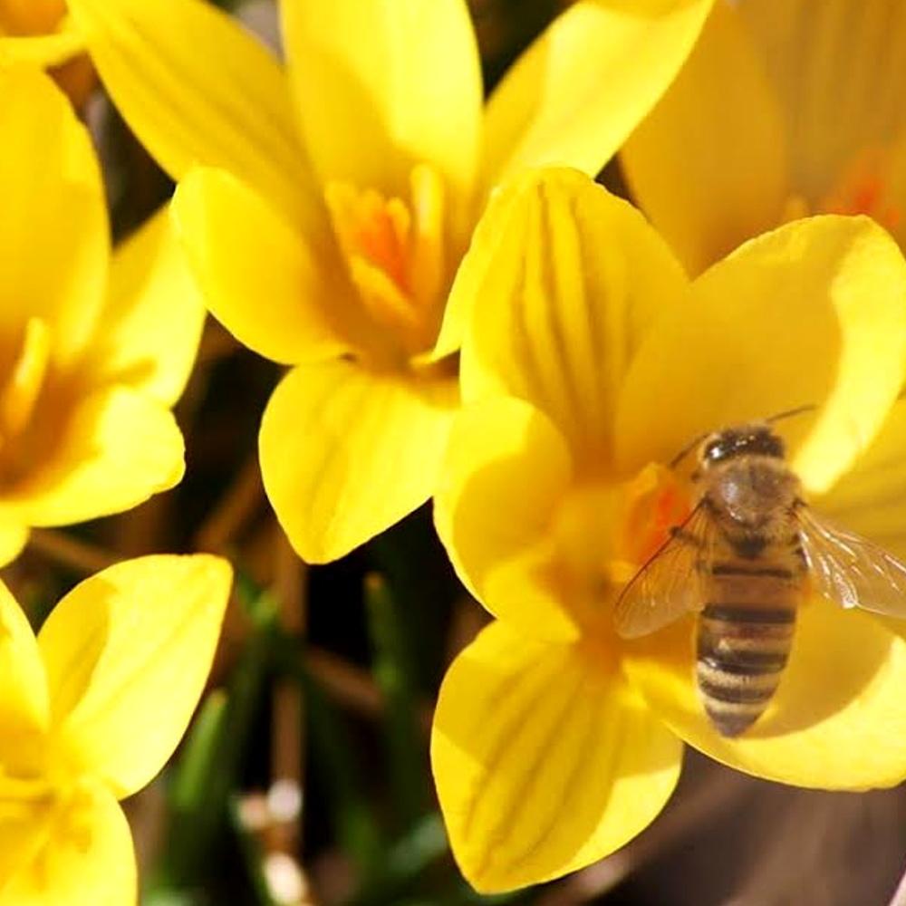 Bienen Krokusse