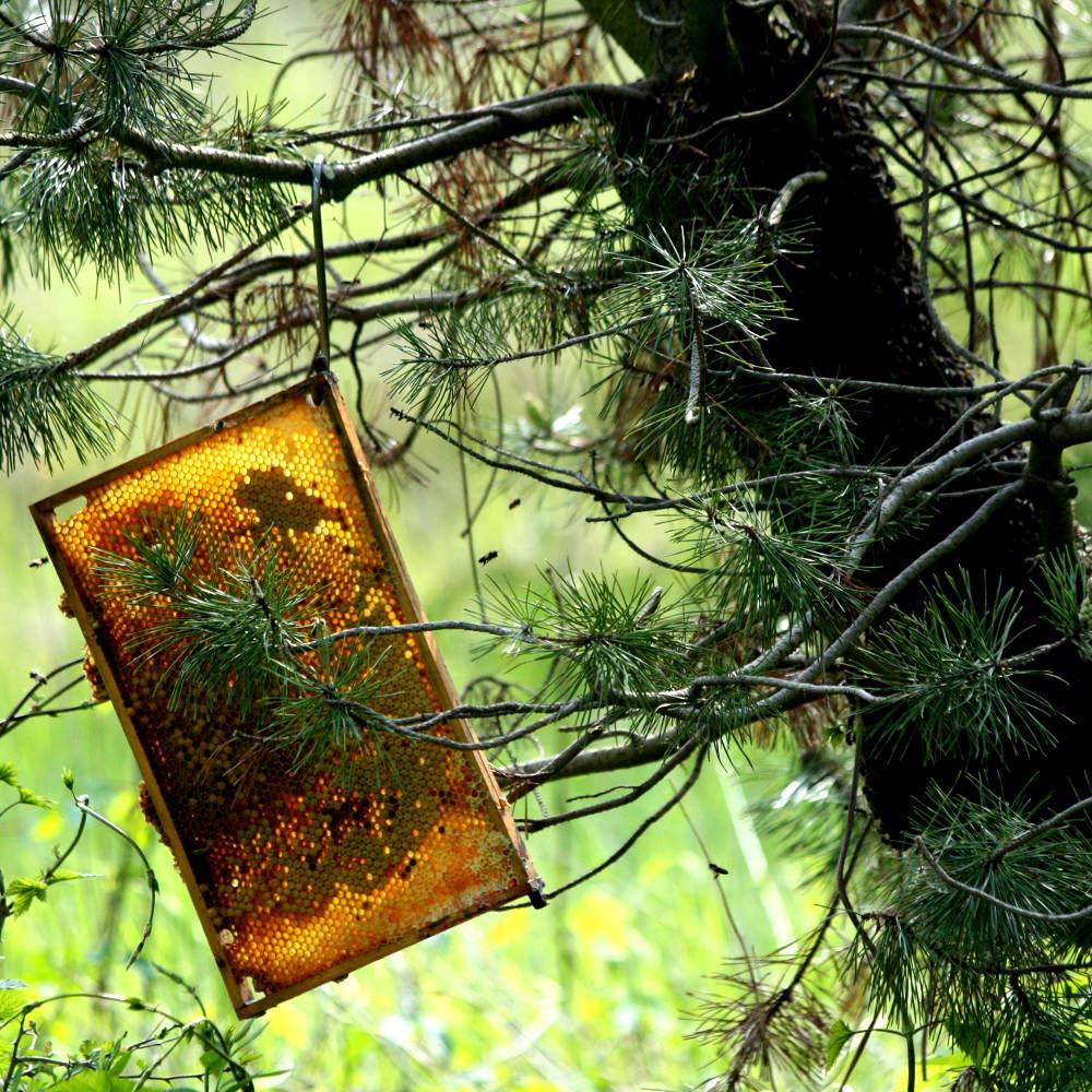Bienenschwarm Einfangen 1