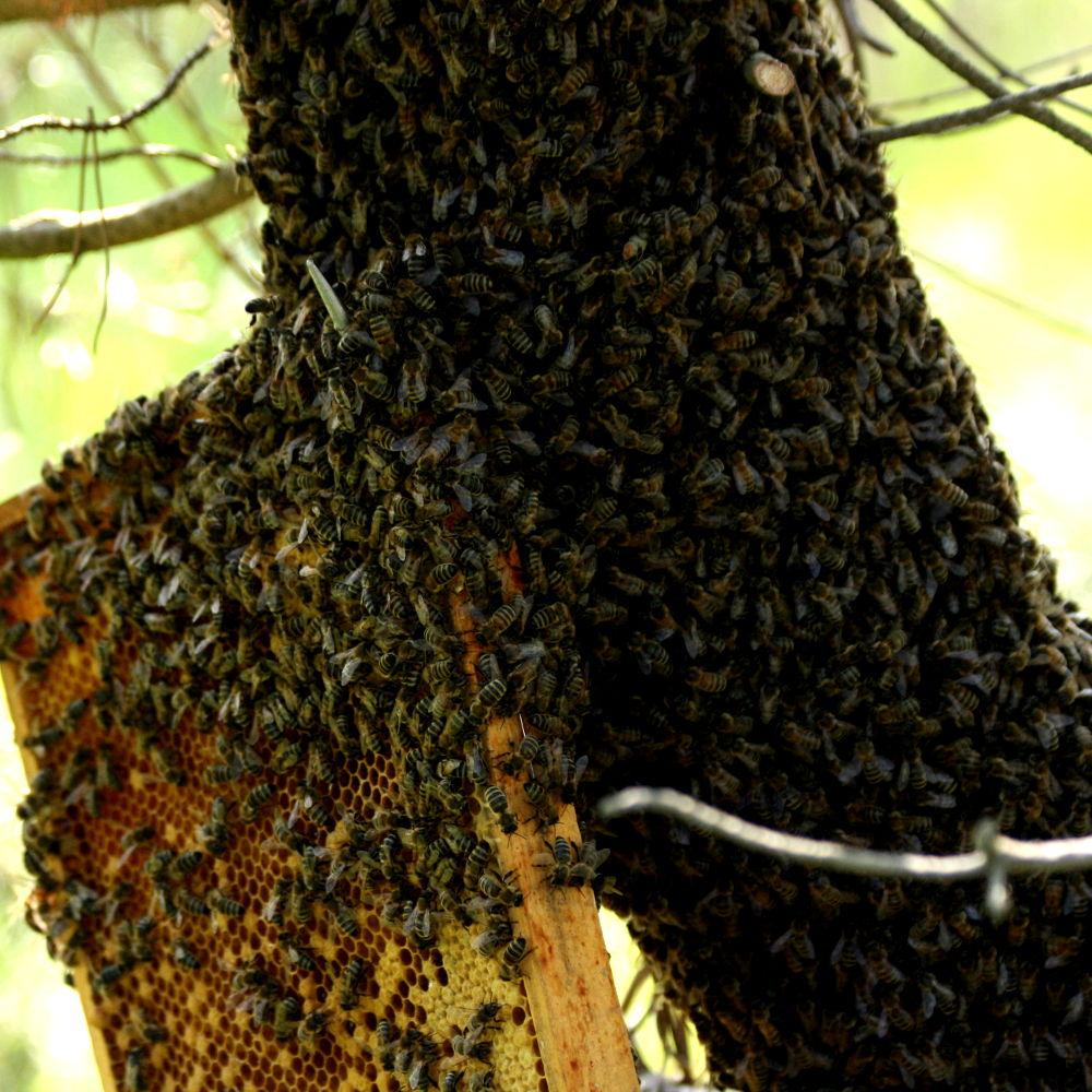 Bienenschwarm Einfangen 2